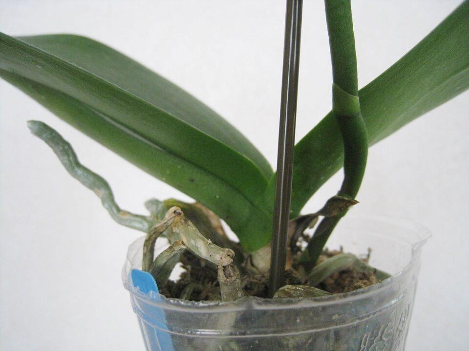 胡蝶蘭が転倒しなように支柱を立てるのは花が咲く前の大事な ...