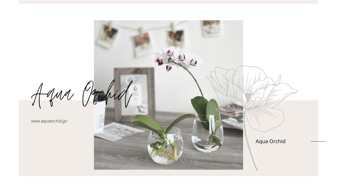 胡蝶蘭を水栽培する基本的な方法と水やりや根腐れ対策