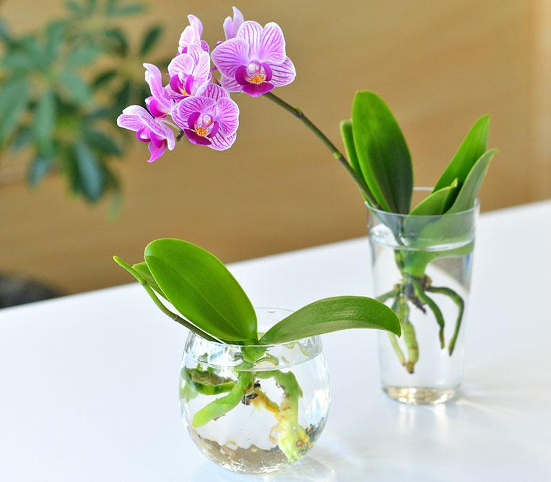 胡蝶蘭を水栽培する時の器は?