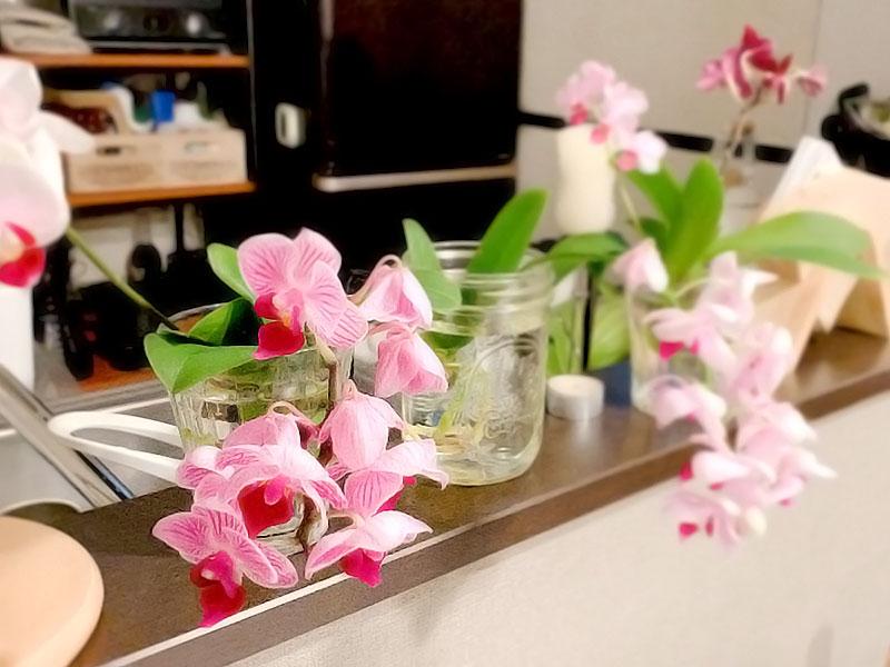 胡蝶蘭水栽培 アクアオーキッド