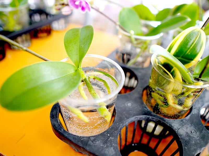 胡蝶蘭を水栽培する時の根腐れ対策