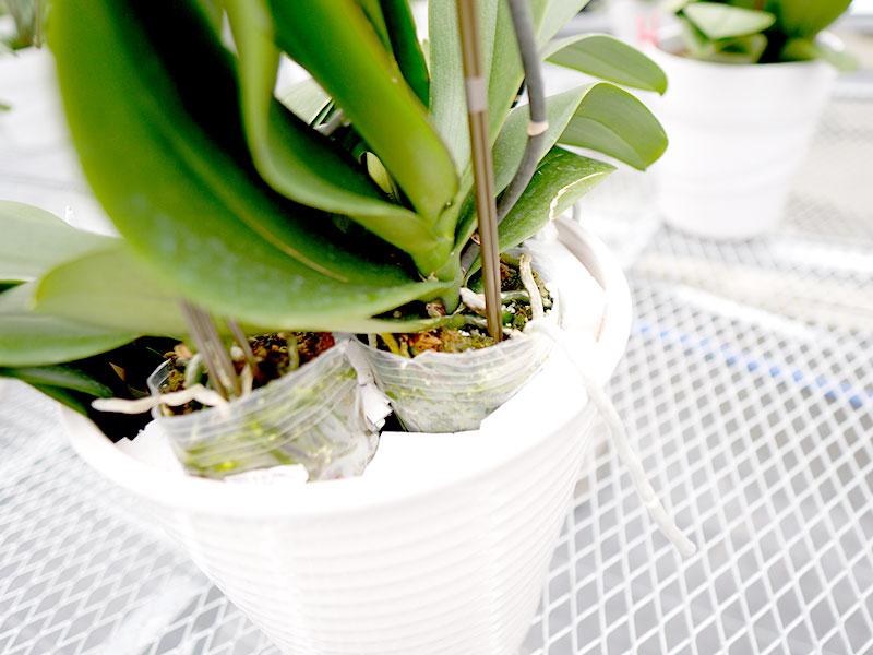 胡蝶蘭 肥料の与え方
