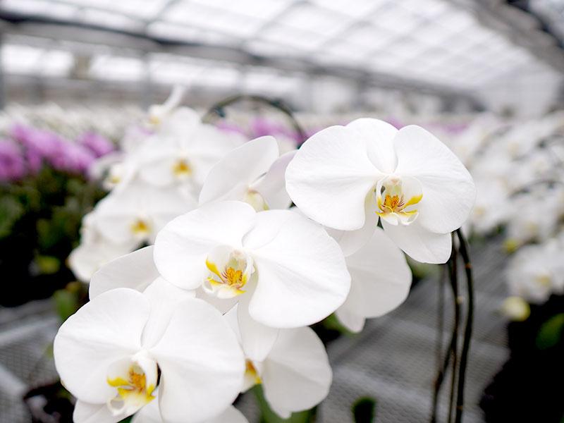 胡蝶蘭の花を楽しめる期間