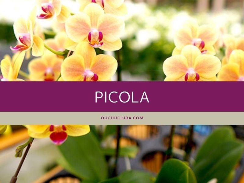 胡蝶蘭ミニサイズ「ピコラ」の値段・育て方
