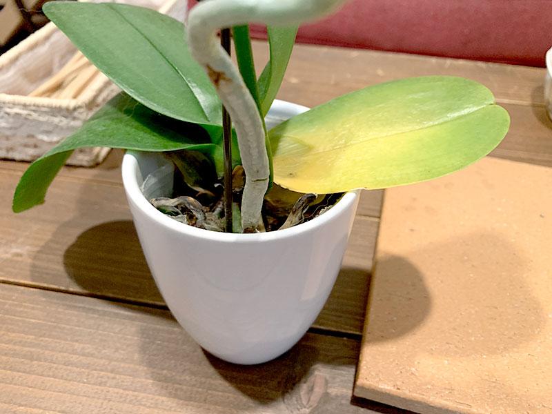 胡蝶蘭を復活させる方法 葉の症状