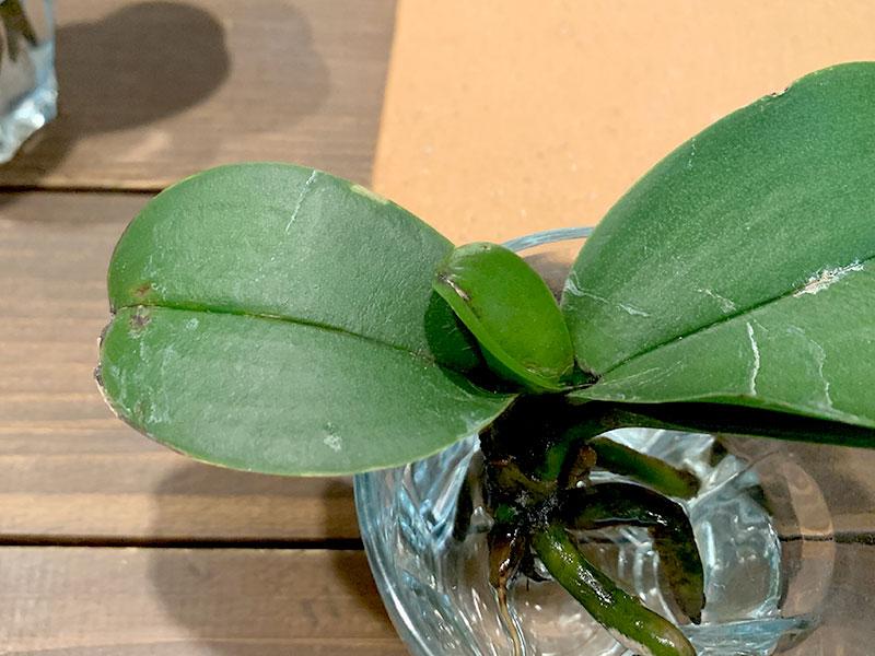 胡蝶蘭を復活させる方法 葉が黒くなった場合